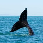 Whale Tail Cape Verde